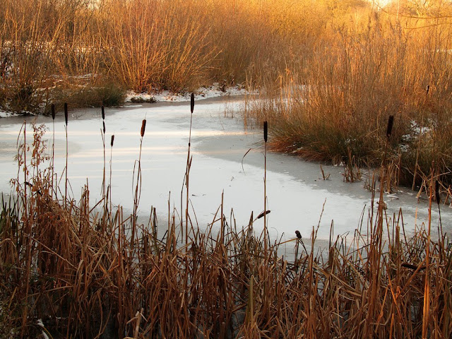 Ice covered with snow surrounded by golden reeds and bulrushes
