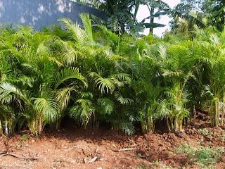 JUAL PALEM KUNING | Chrysalidocarpus lutescens
