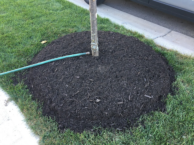 mulch base of young tree
