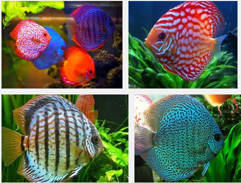 Inilah Cara Membedakan Anantomi Ikan Discus Jantan dan Betina