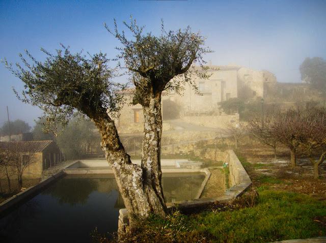 Una olivera frente a casa Mur