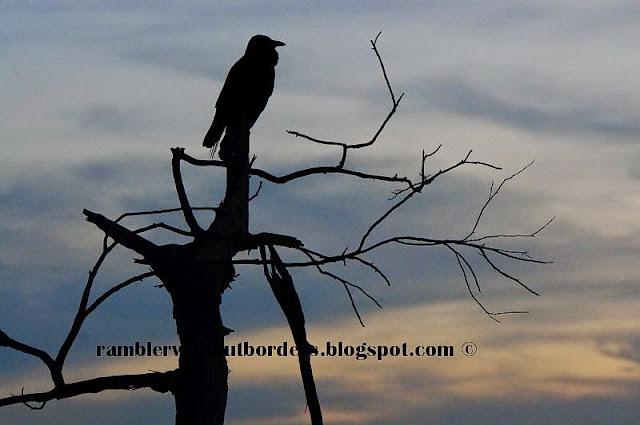 Crow, Heirisson Island, Perth, WA