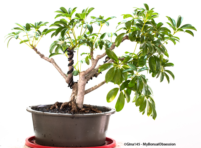 Pleasant My Bonsai Obsession A Little Wire Makes A Big Difference Wiring Digital Resources Sapebecompassionincorg