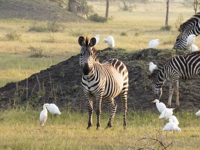 Zebras and cattle egrets in Lake Mburo National Park in Uganda