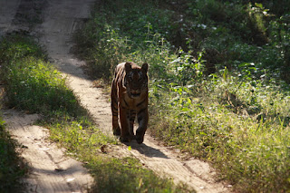 Tiger in Kanha National Park