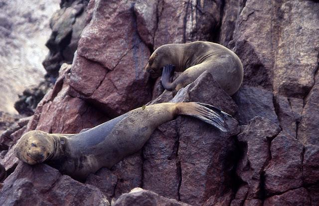 Otarie à crinière – Otaria flavescens