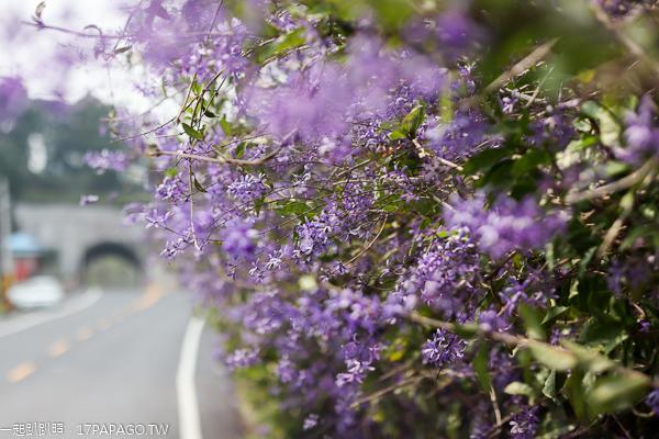 中寮671茶花園許願藤花牆紫色浪漫,品嚐校長鳳梨,長源隧道旁