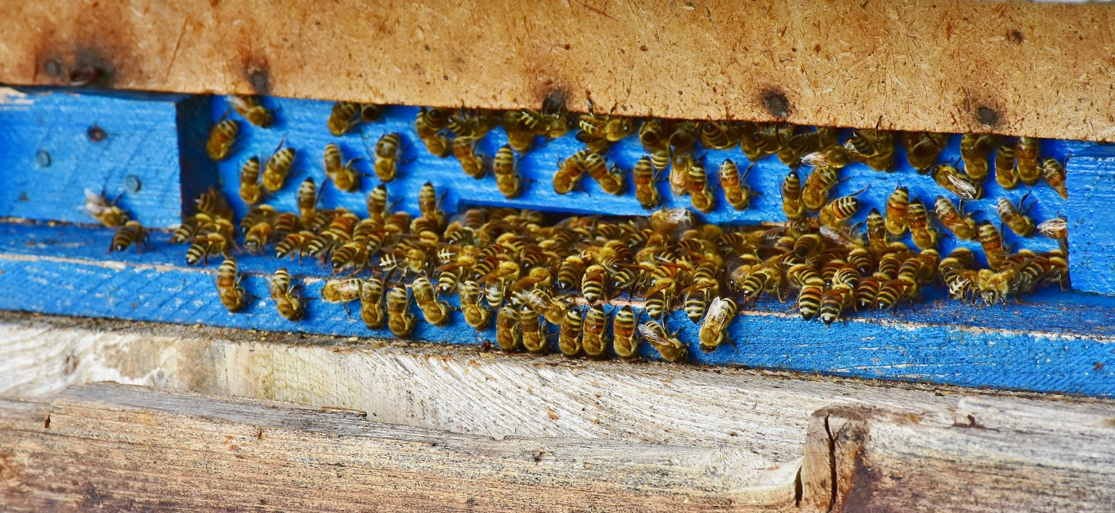 巣箱の入り口に集まる多くの蜜蜂