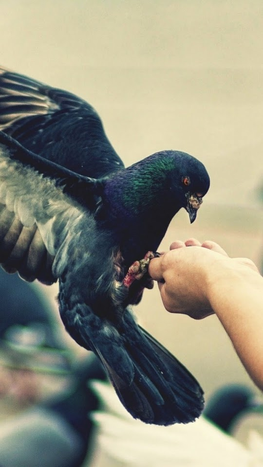 Pigeon Eating From Hand  Galaxy Note HD Wallpaper