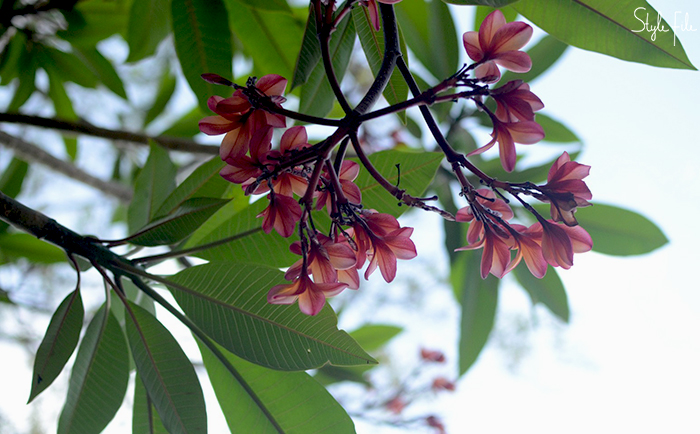 Image of pink frangipani champa flowers with green leaves growing on a tree in Goa