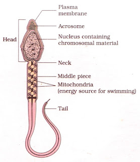 www.cbsencertsolution.com image of Structure of a Sperm