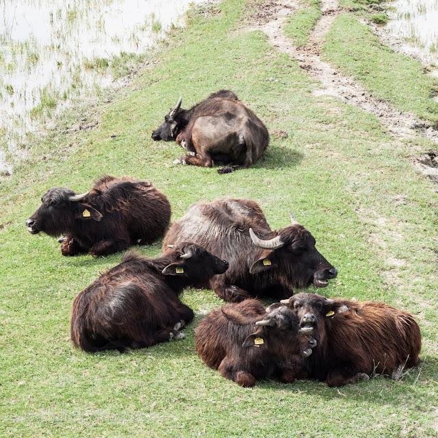 Bivalyok kérődznek a mórahalmi bivalyrezervátum területén