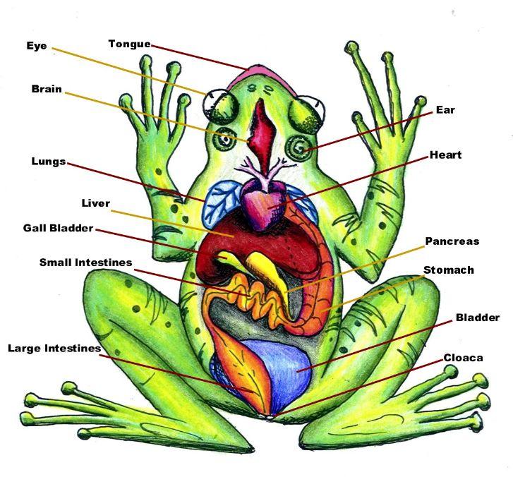 amphibian diagram