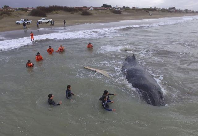 Apareció muerta la ballena rescatada en Mar del Tuyú 0716_ballena_varada_g.jpg_1853027552