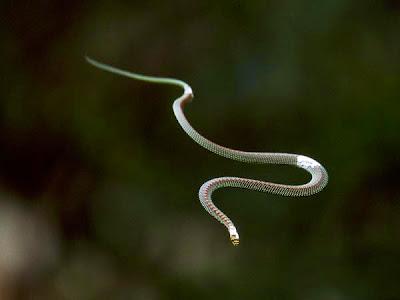 cobra voadora, cobras, serpentes, serpente, veneno de cobra, picada de cobra, animais que voam, réptil, répteis, repteis, snake, flying snake, snake venom, Chrysopelea