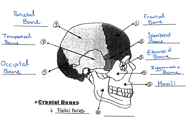 cranial facial and long bones diagram. Black Bedroom Furniture Sets. Home Design Ideas