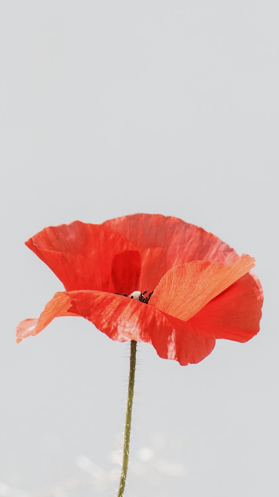Flor vermelha e fundo vazio cor de cinza