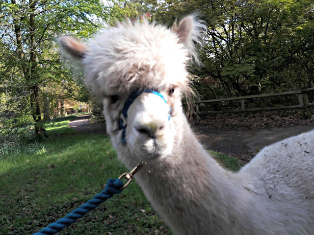 Walton Hall Zoo alpacas - Topaz