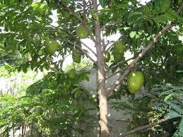 atau dikenal juga dengan durian belanda atau nangka belanda ialah salah satu tumbuhan  Sirsak (Annona muricata L)