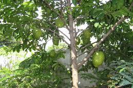 Sirsak (Annona muricata L)