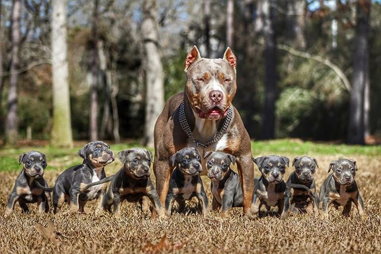 "A pit bull named ""Marvel"" and small fighters"