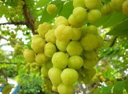 Manfaat Dari Buah Cermai Untuk Kesehatan Tubuh, khasiat dari buah cermai untuk tubuh