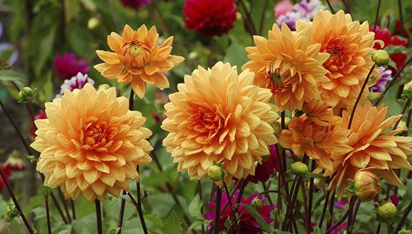 Plantation printani re des oignons fleurs for Plantation de fleurs