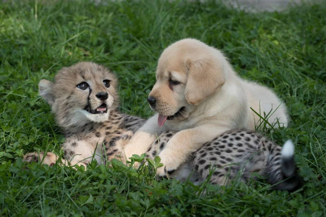 http://samy909news.blogspot.com/2017/01/cheetah-cub-and-puppythey-are-for-each.html