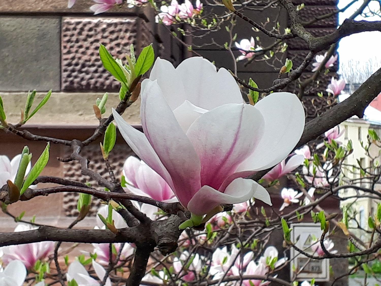 Szlak Kwitnących Magnolii Cieszyn