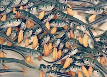 Cara Merawat Ikan Arwana Anakan Agar Cepat Besar