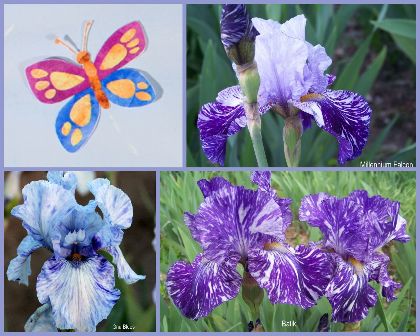 World Of Irises Broken Color Iris Are Not For The Timid
