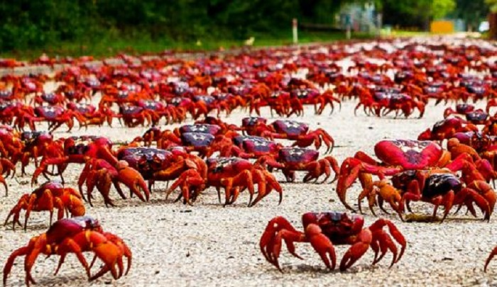 Christmas Island Red Crab.The Red Crabs Of Christmas Island Australia Amazing World