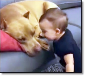 Picture of baby and pit bull