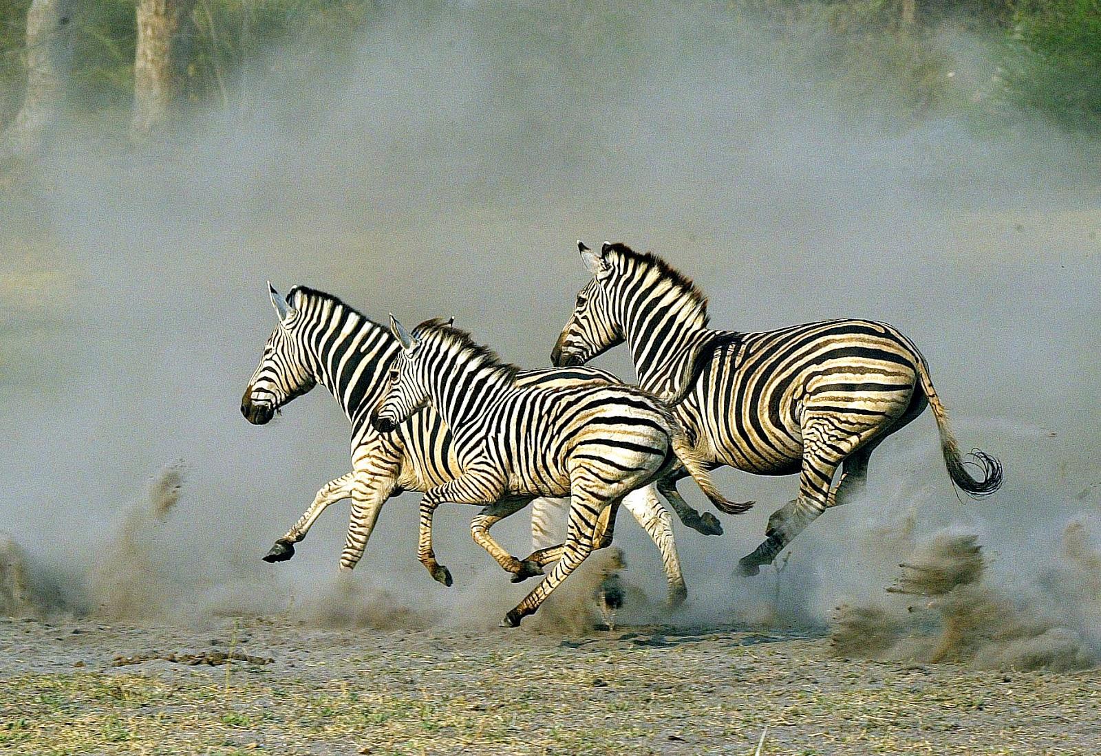 zebra running -#main