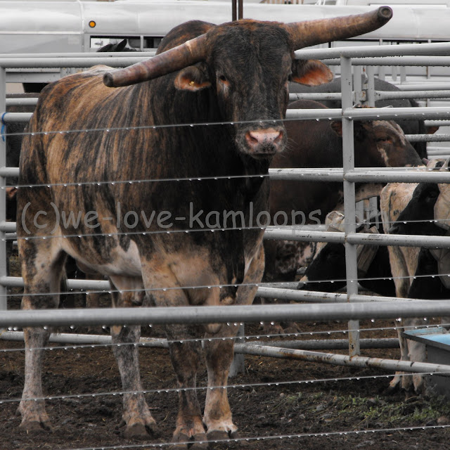 The Brahma bull watches me closely from inside his pen as I take my photos