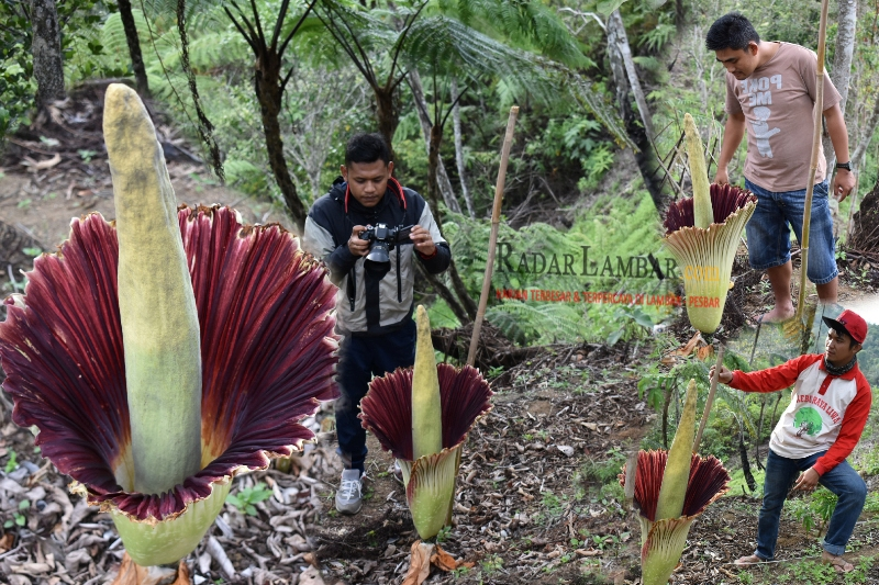 Bunga Amorphophallus Titanum Mekar di Kebun Raya Liwa