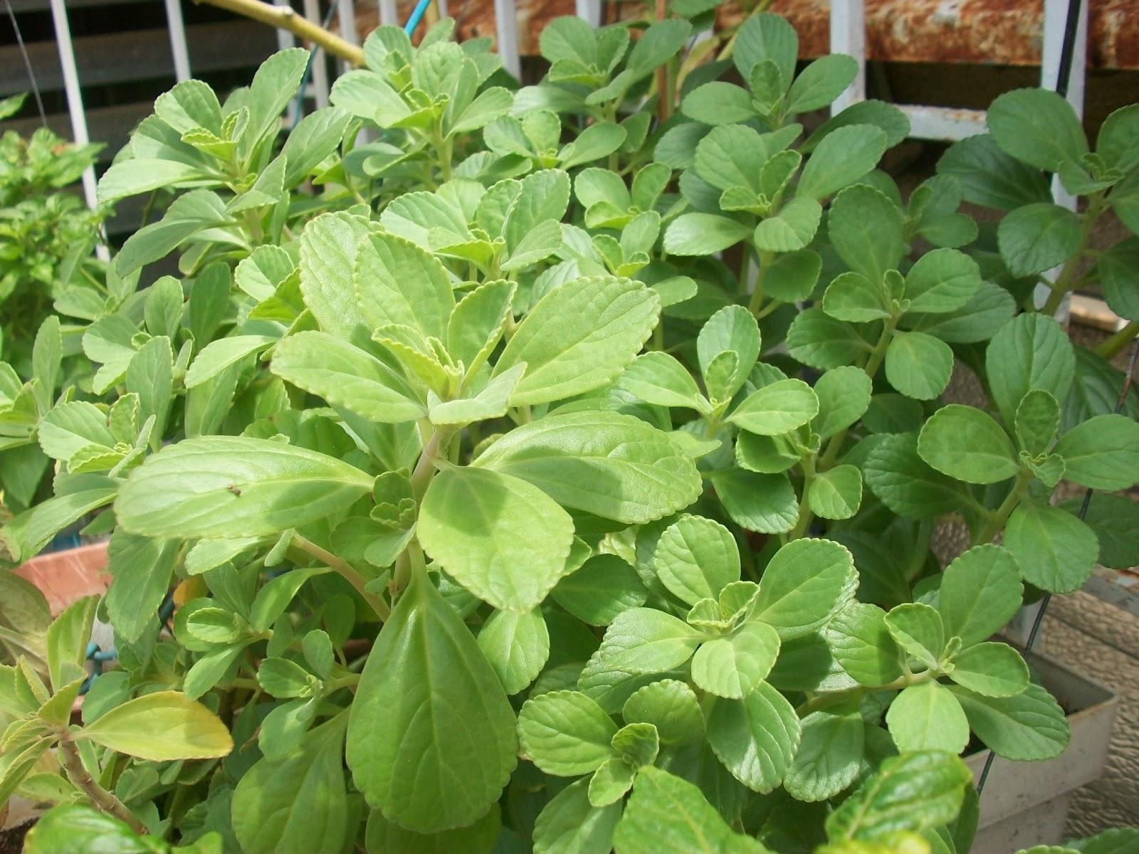 Mi techo verde plantas medicinales for Como se planta la lavanda