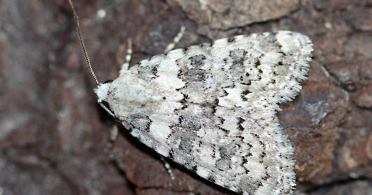 Staying Wild:Tales From The Garden Moth Trap