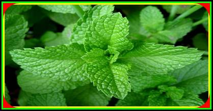 the secret of greatness benefits and the benefits of mint leaves