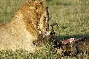 الحيوانات التي تصطاد بالمطاردة وكيفية استهلاكها غذائها