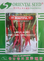 CABE MERAH OR BEAUTIFUL 497, CABE BEAUTIFUL, CABAI BEAUTIFUL, LMGA AGRO
