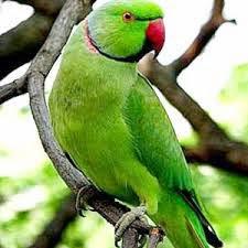 salah satu yang paling terkenal yaitu burung JENIS BURUNG PELIHARAAN