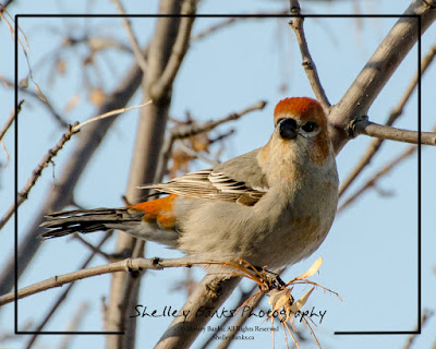 Pine Grosbeak. © Copyright Shelley Banks, all rights reserved.