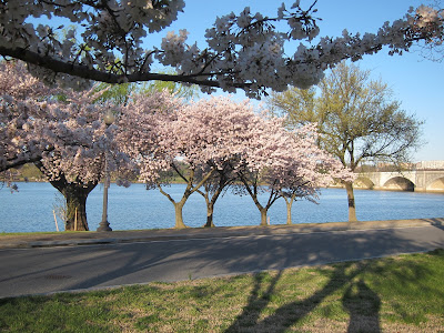 cherry blossom trees on the Potomac River