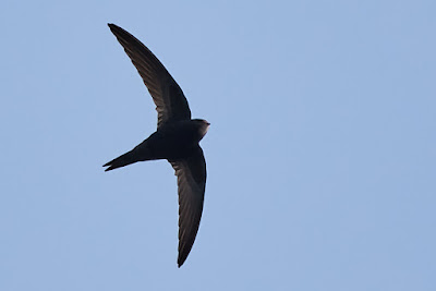 Sarlósfecske, Common Swift, Mauersegler, Apus apus