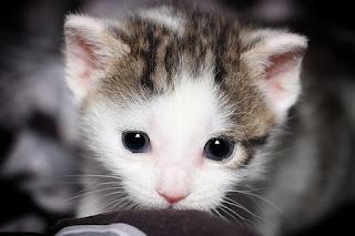 kucing hewan peliharaan anak kost yang lucu dan murah