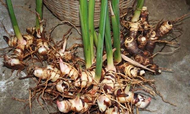 Củ Riềng - Alpinia officinarum - Nguyên liệu làm thuốc Chữa Bệnh Tiêu Hóa