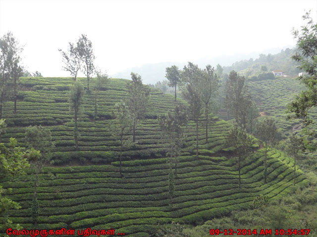 Scenic Tea Plantations in Wayanad Kerala