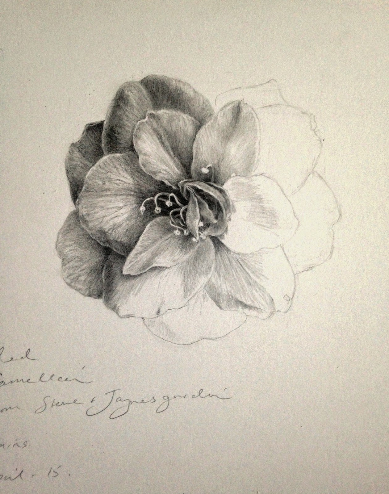 Day 12 Unfinished Camellia Drawing, Plus some Graphite Tips