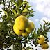 Sergipe e Bahia discutem estratégias para a cultura de citros